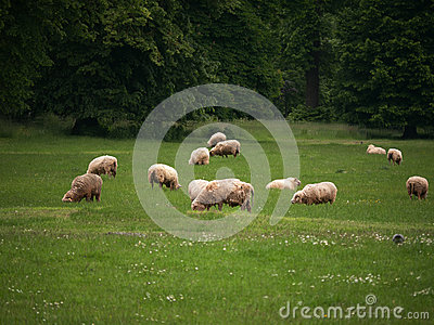 Sheep grazing on green grass