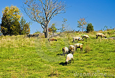 Sheep Grazing on a Hill