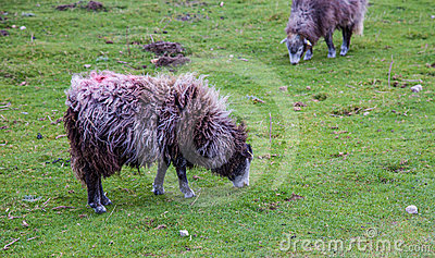 Sheep Grazing on hill
