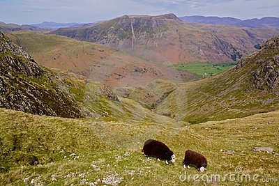 Sheep grazing in Lake District, England