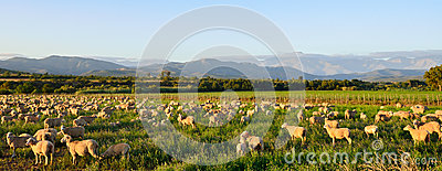 Sheep grazing in late afternoon sun near Oudtshoorn