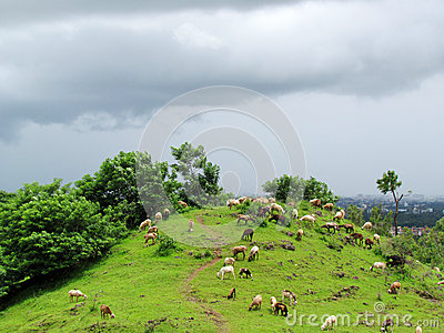 Sheep grazing in lush green field
