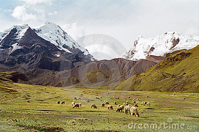 Sheep grazing in mountains, Peru