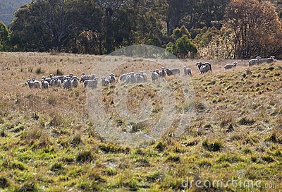 Sheep grazing. NSW. Australia.