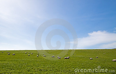 Sheep grazing an open field