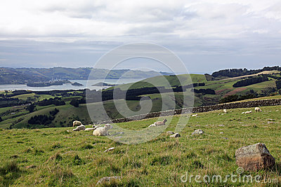 Sheep grazing on the road to Larnach Castle in Dunedin New Zeal