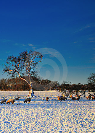Sheep Grazing in the Snow