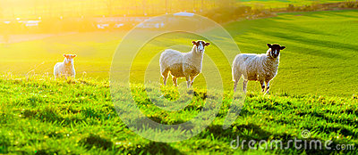 Sheep Grazing at Sunset