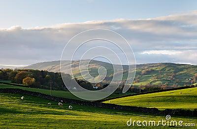 Sheep grazing in undulating hillside pasture