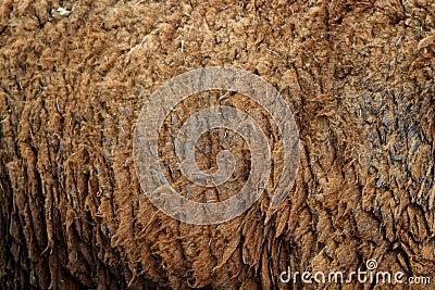 Sheep hair (Texture)