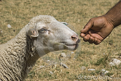 Sheep and hand