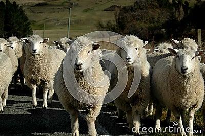 Sheep Head On