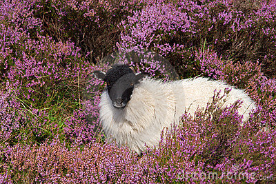 Sheep Among Heather