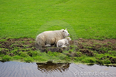 A sheep and her child