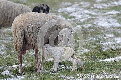 Sheep with her lamb newborn