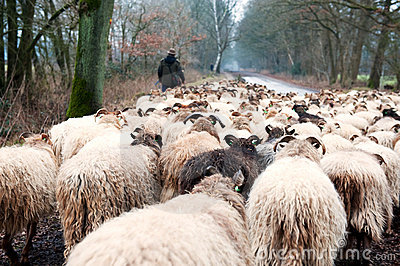 Sheep herd in winter