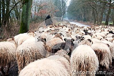 Sheep herd in winter