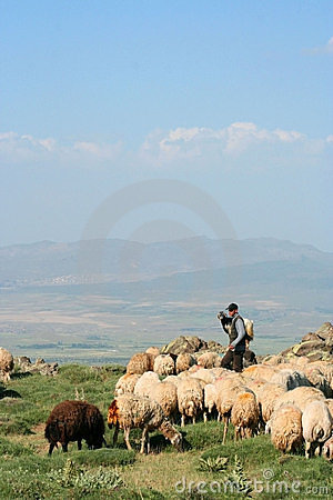 Sheep and herdsman