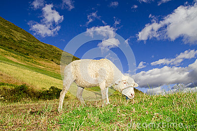 Sheep in a highlands landscape with blue skies