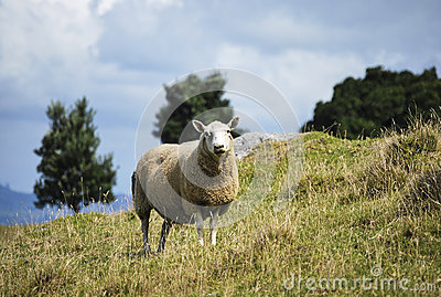 A sheep on a hill
