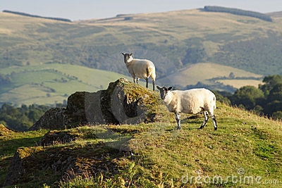 Sheep on a hill in Wales.