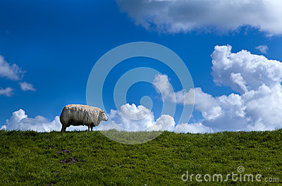 Sheep on horizon