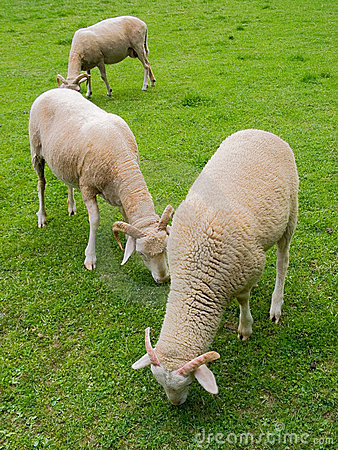 Free Sheep In Farm Stock Photo - 14050230