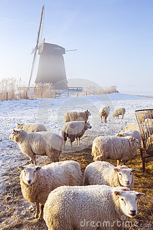 Free Sheep In Front Of Dutch Windmill On A Winter S Morning Stock Photography - 58199292