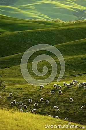 Free Sheep In Tuscany Stock Photos - 5189643