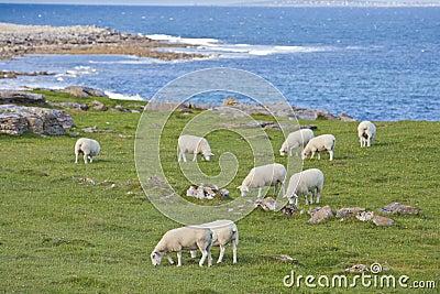 Sheep on Irish Coastline