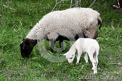 Sheep  lamb