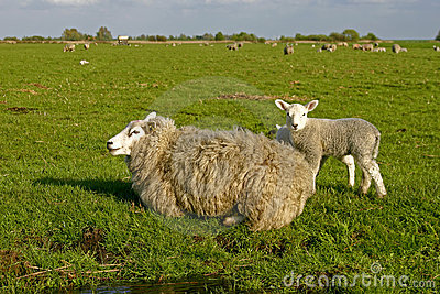 Sheep and lamb in Netherlands
