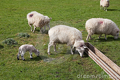 Sheep and lamb in a sunny day