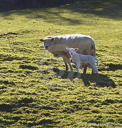 Sheep & Lamb - Wales - UK