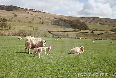Sheep and Lambs in the Forest of Bowland,Lancashire, U.K.
