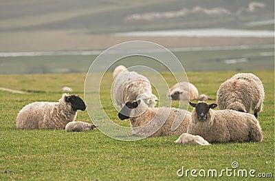 Sheep & lambs on hilltop