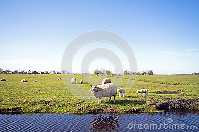 Sheep with lambs in the Netherlands