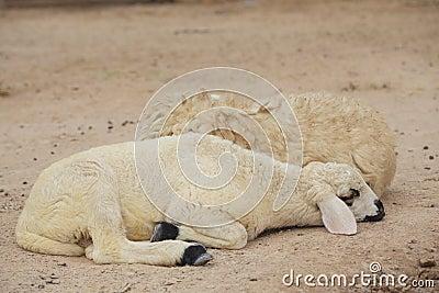 Sheep lay down