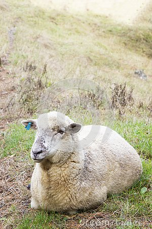 Free Sheep Lazing In A Meadow Stock Photography - 134126672