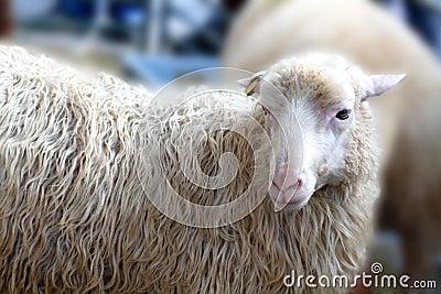 Sheep looks