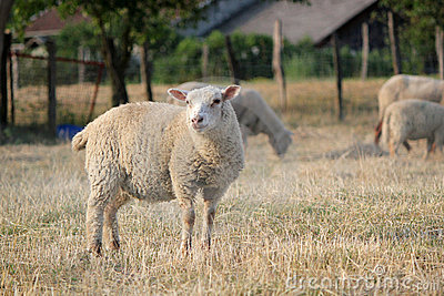 Sheep in a meadow with others