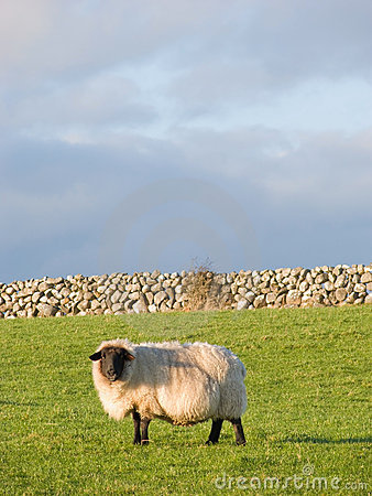 Sheep in the meadow with stonewall
