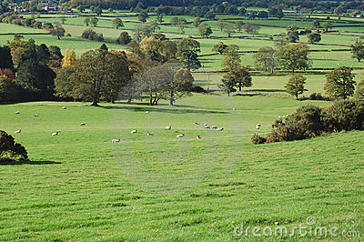 Sheep in the Meadows