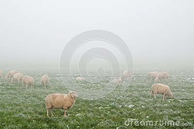 Sheep in the mist in Winter