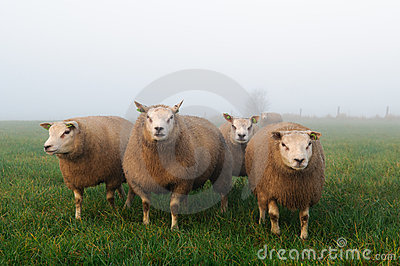 Sheep in misty meadow