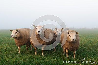 Sheep in misty meadow