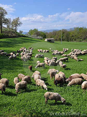 Sheep on a Montefalco Farm in Umbria, Italy