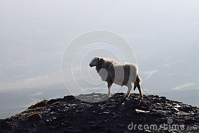 Sheep on mountain 1