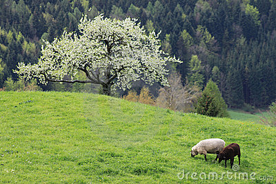 Sheep on a mountain pasture_1