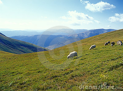 Sheep in mountains.